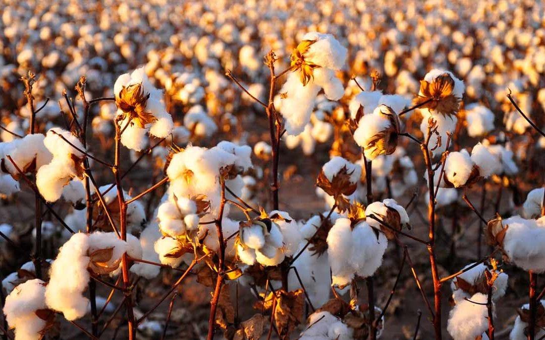 Can't sleep? Try organic cotton